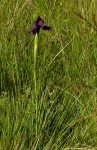Moraea macrantha