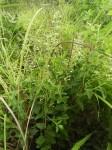 Ocimum lamiifolium