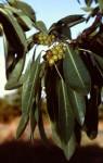 Ficus persicifolia