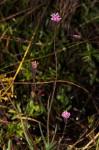 Emilia integrifolia
