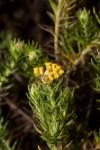 Helichrysum abietinum