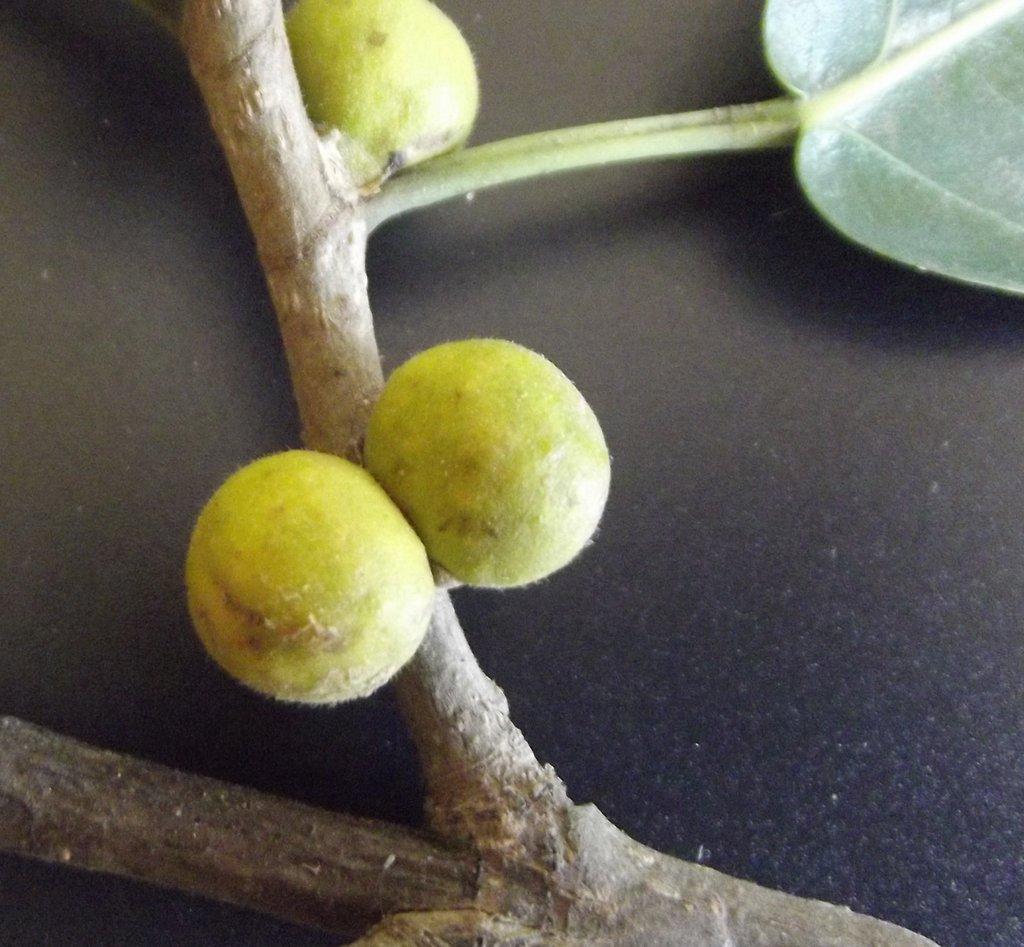 Ficus thonningii