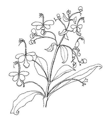 Rotheca luembensis subsp. luembensis var. luembensis