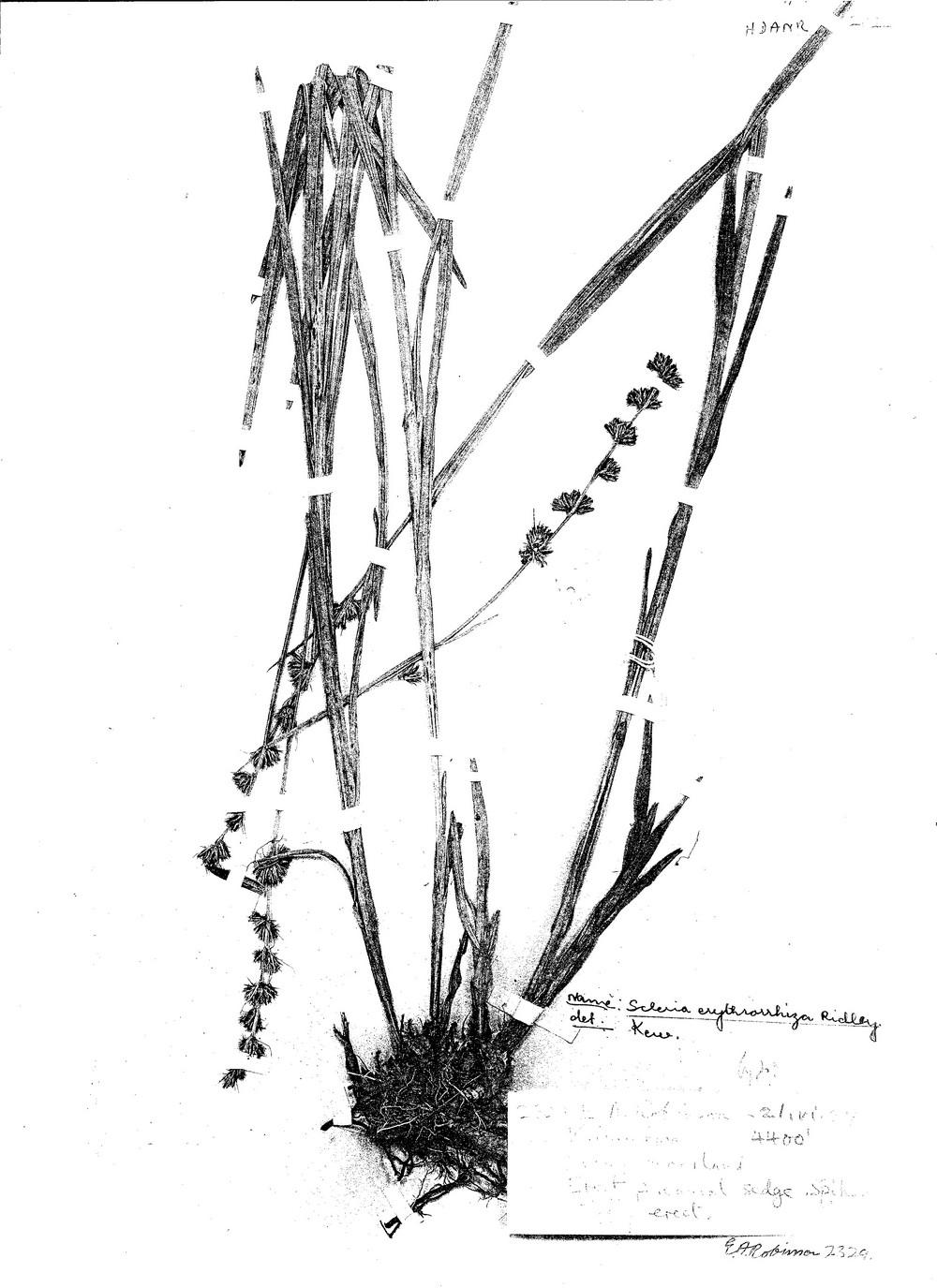 Scleria erythrorrhiza