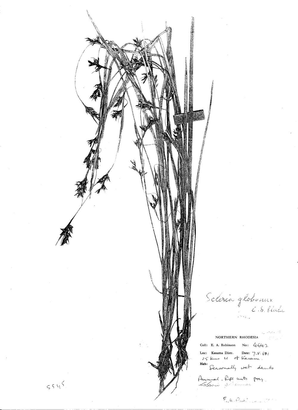 Scleria globonux
