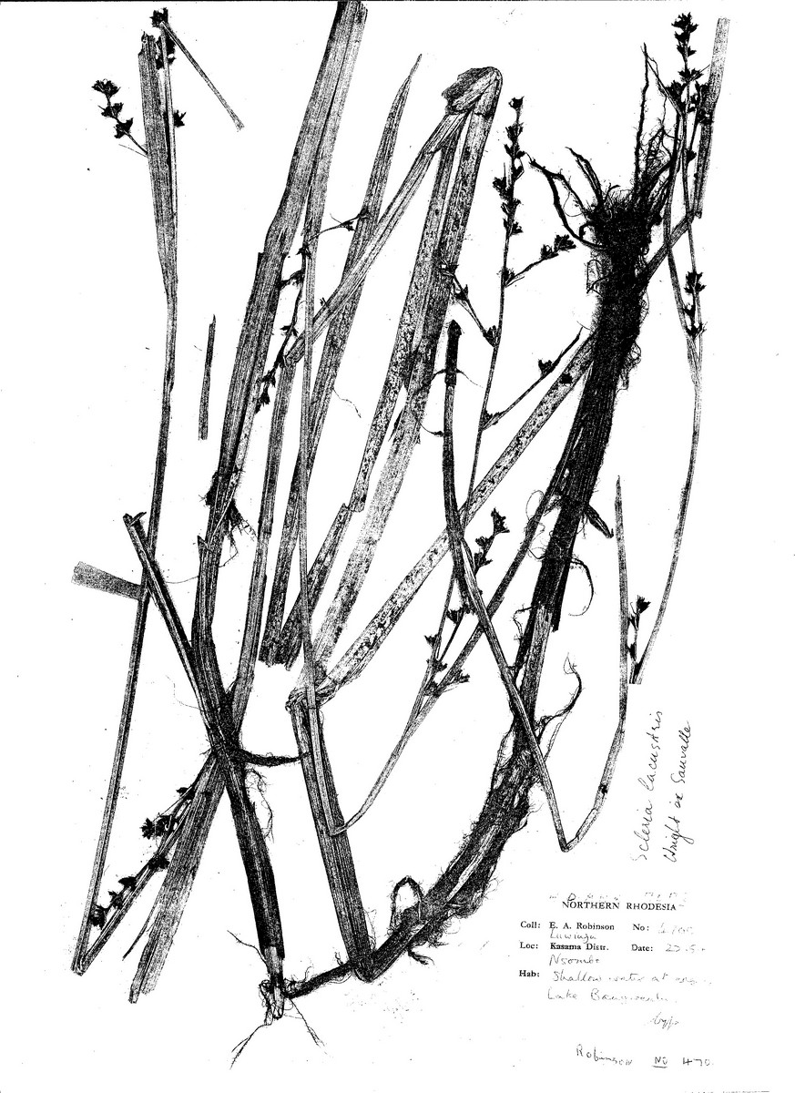 Scleria lacustris