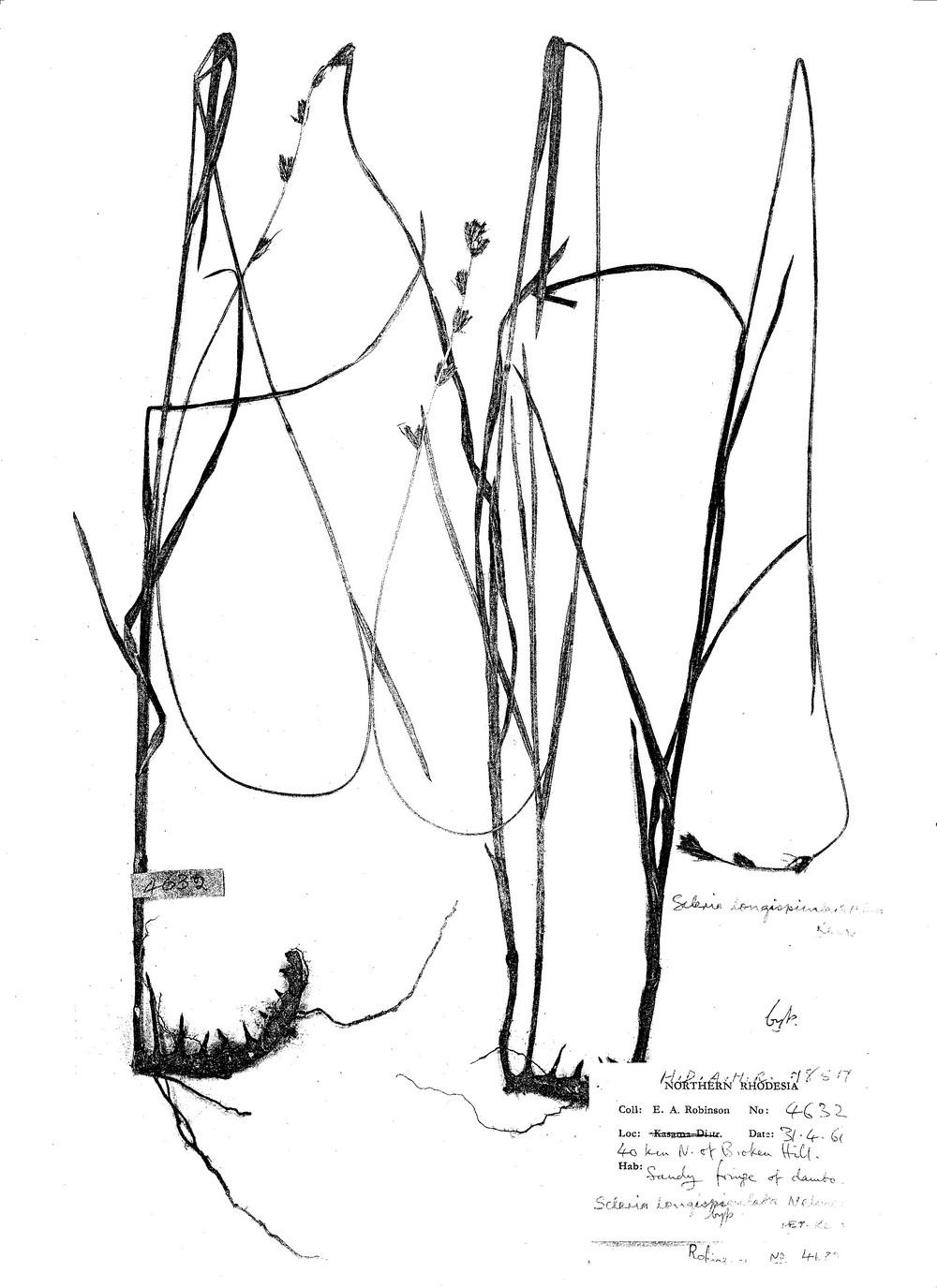 Scleria longispiculata