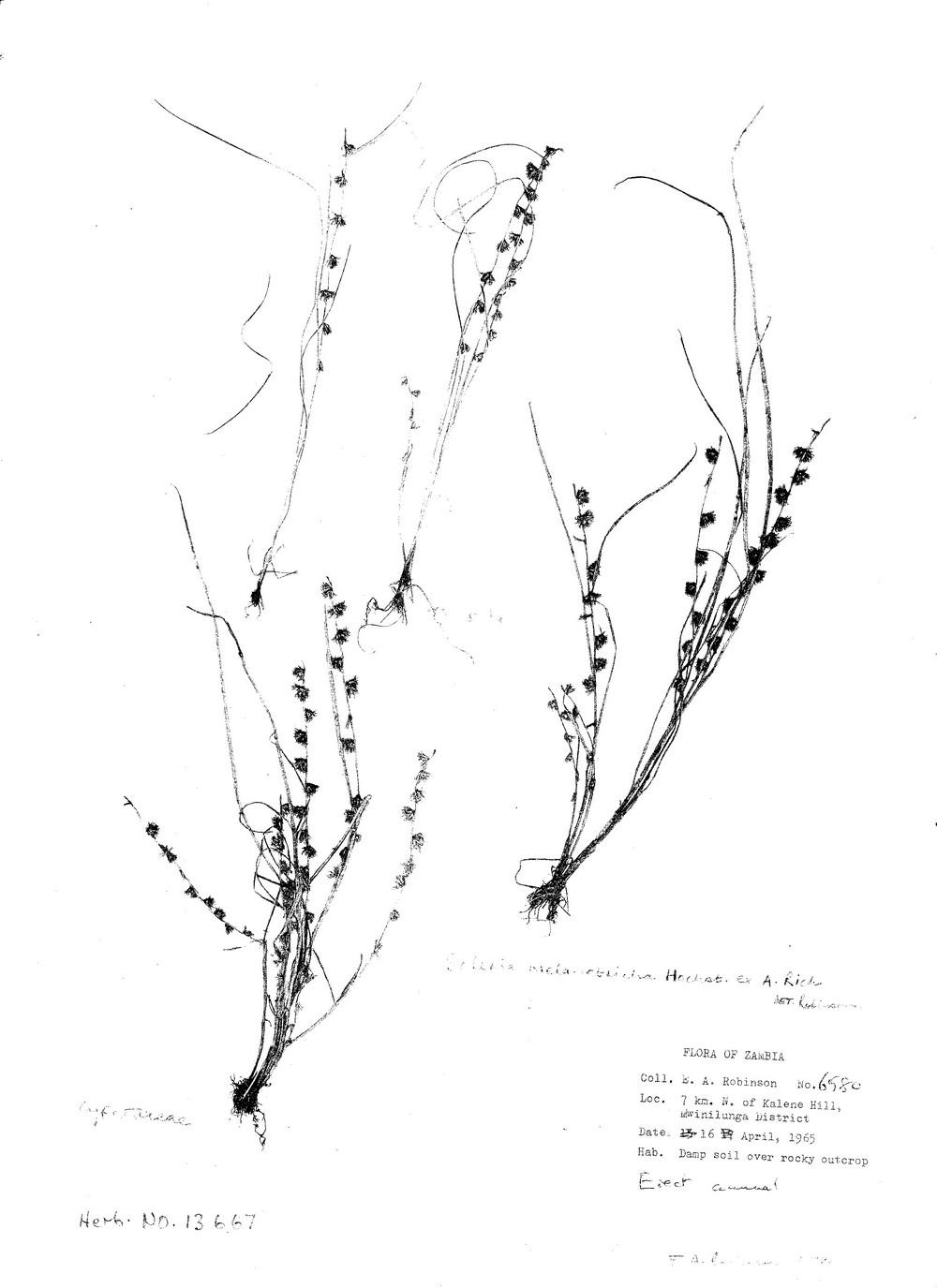 Scleria melanotricha