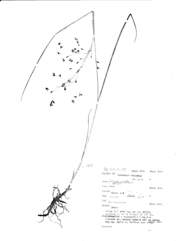 Scleria woodii var. ornata