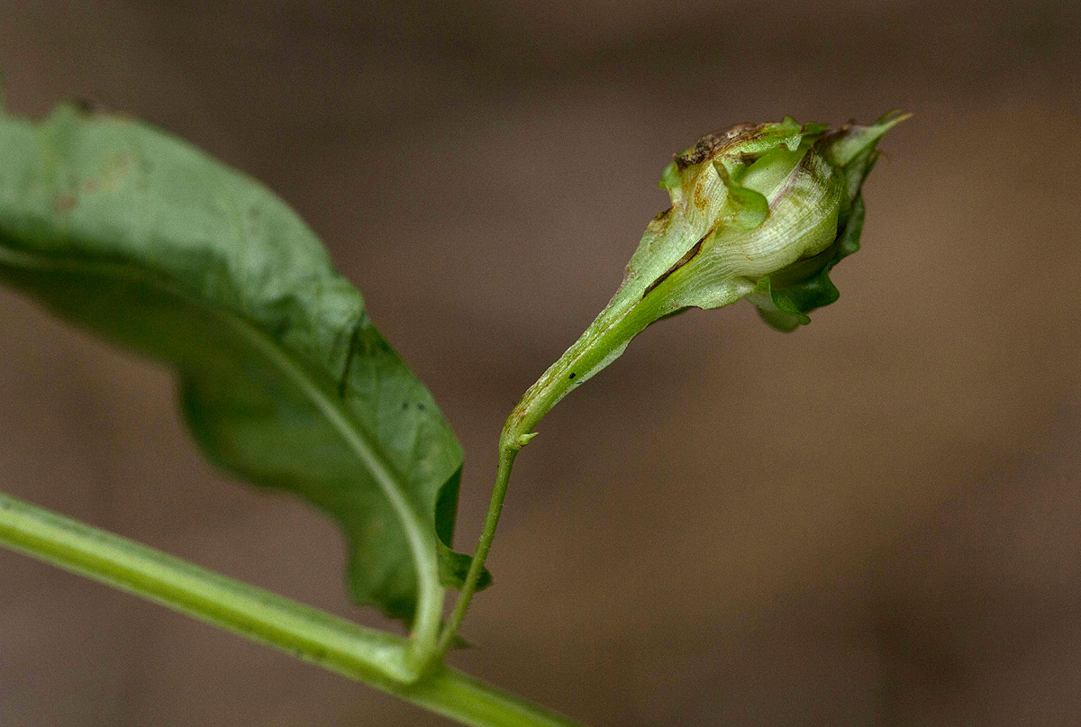 Merremia tridentata subsp. alatipes