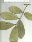 Anthonotha macrophylla