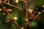 Anthonotha macrophylla