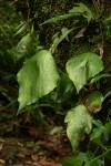 Antrophyum mannianum