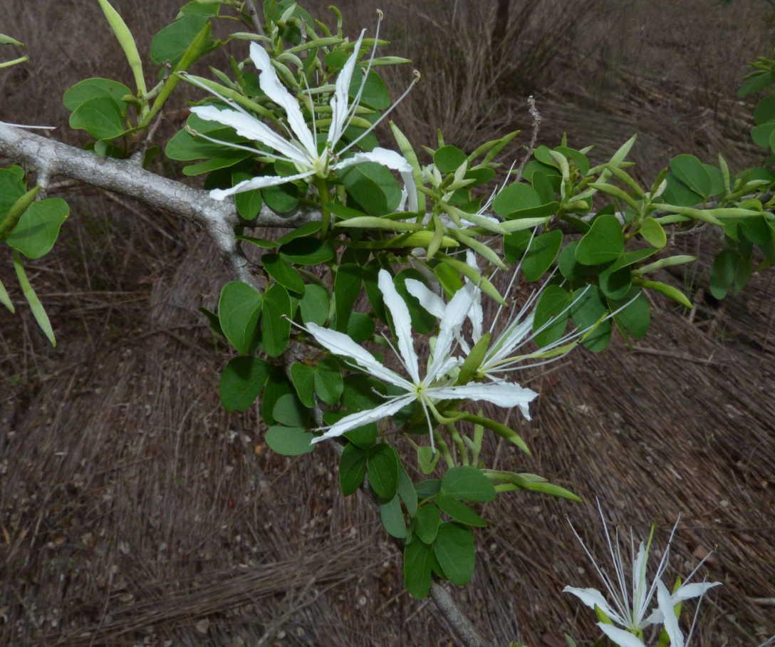 Bauhinia burrowsii