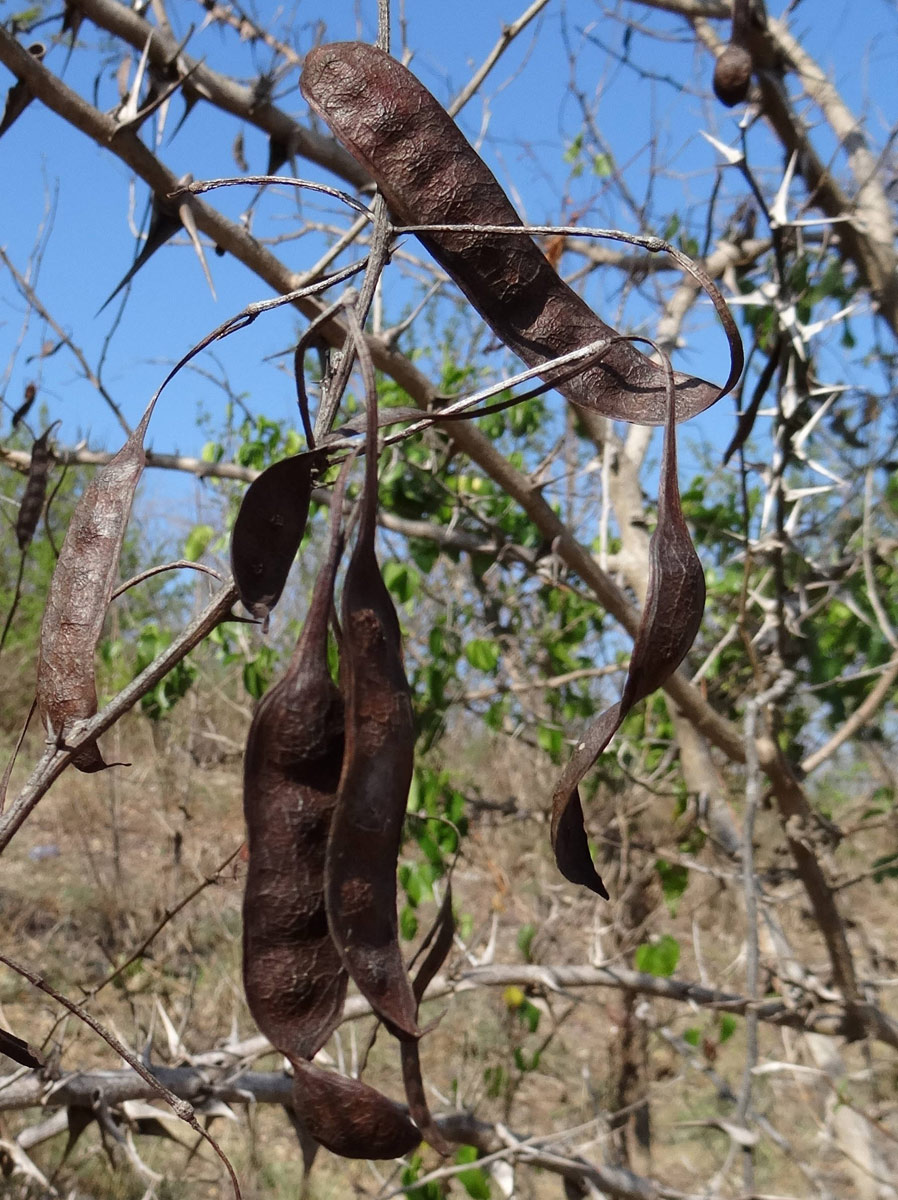 Acacia latispina