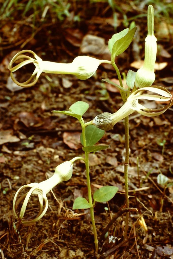 Ceropegia umbraticola