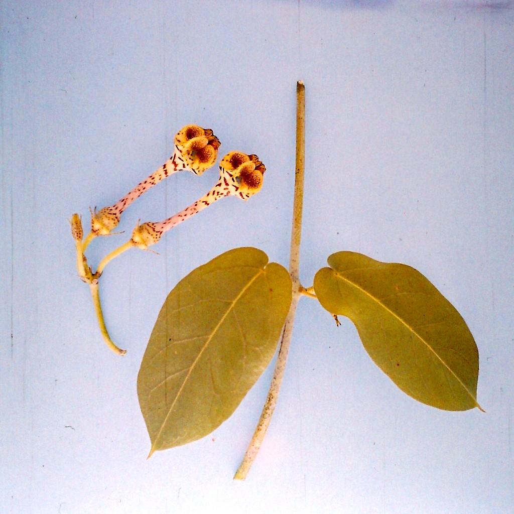 Ceropegia zambesiaca