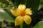 Strophanthus gardeniiflorus