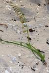 Dipcadi brevifolium