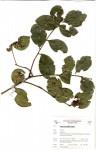 Eugenia capensis subsp. multiflora