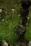 Criscianthus zambiensis