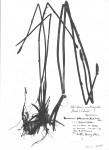 Eleocharis acutangula