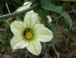 Coccinia sessilifolia