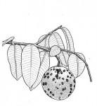 Landolphia owariensis