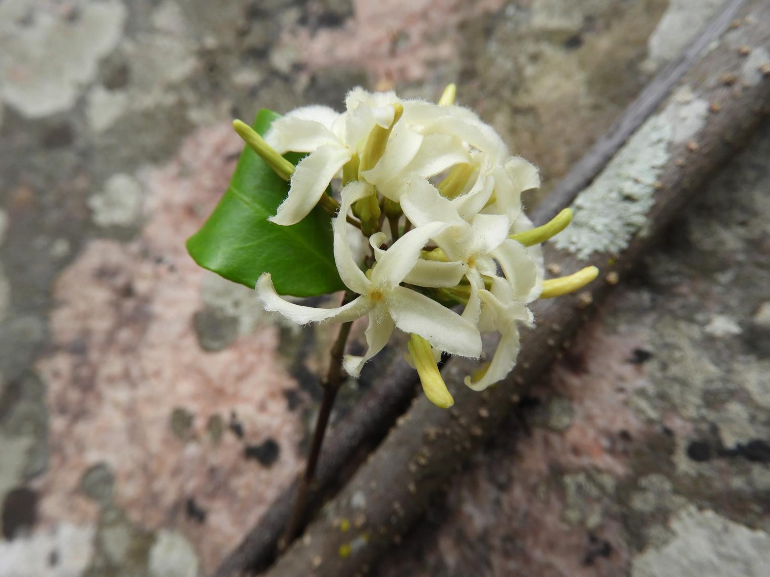 Ancylobotrys amoena