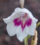 Gladiolus bellus