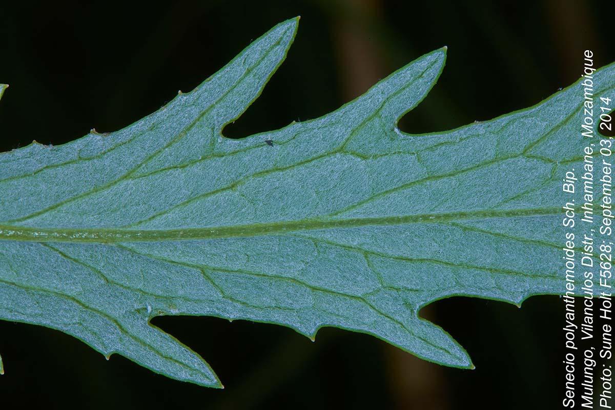 Senecio polyanthemoides