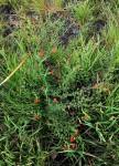 Jamesbrittenia aurantiaca