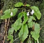 Streptocarpus milanjianus