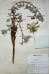 Harpagophytum procumbens subsp. procumbens