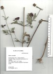 Bidens urceolata