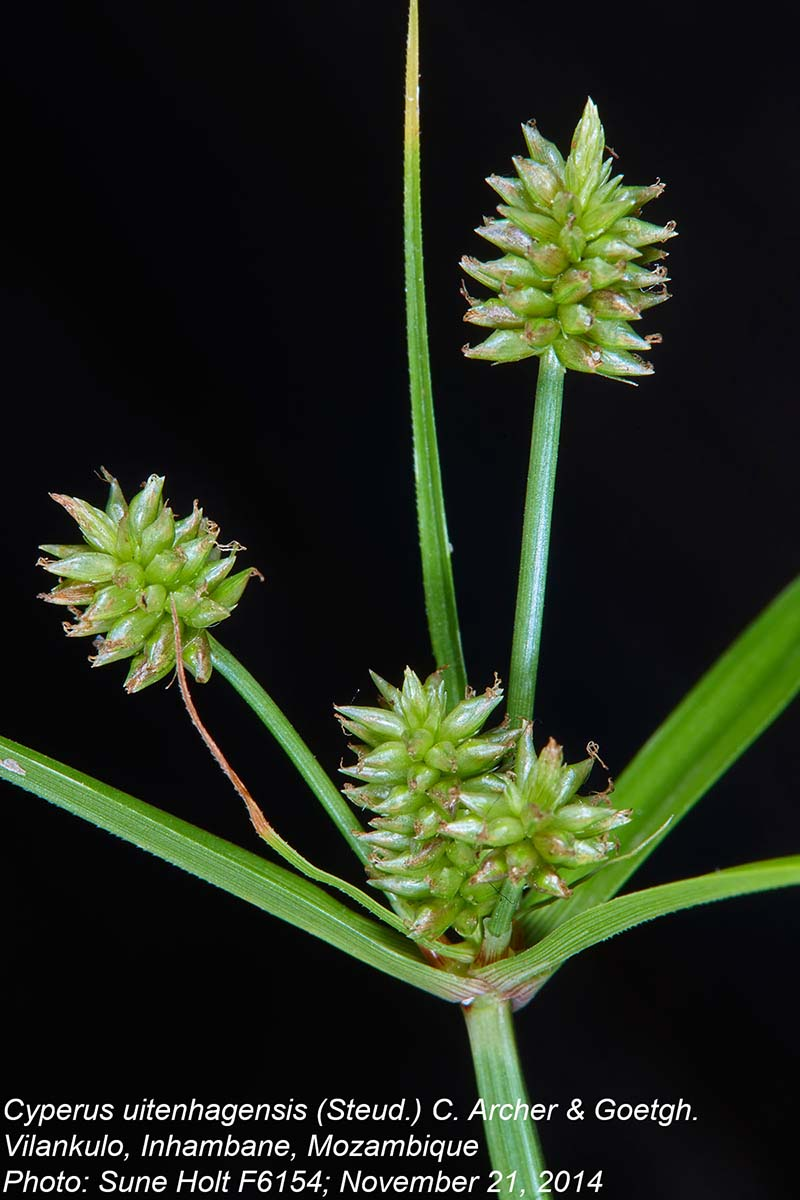 Cyperus uitenhagensis
