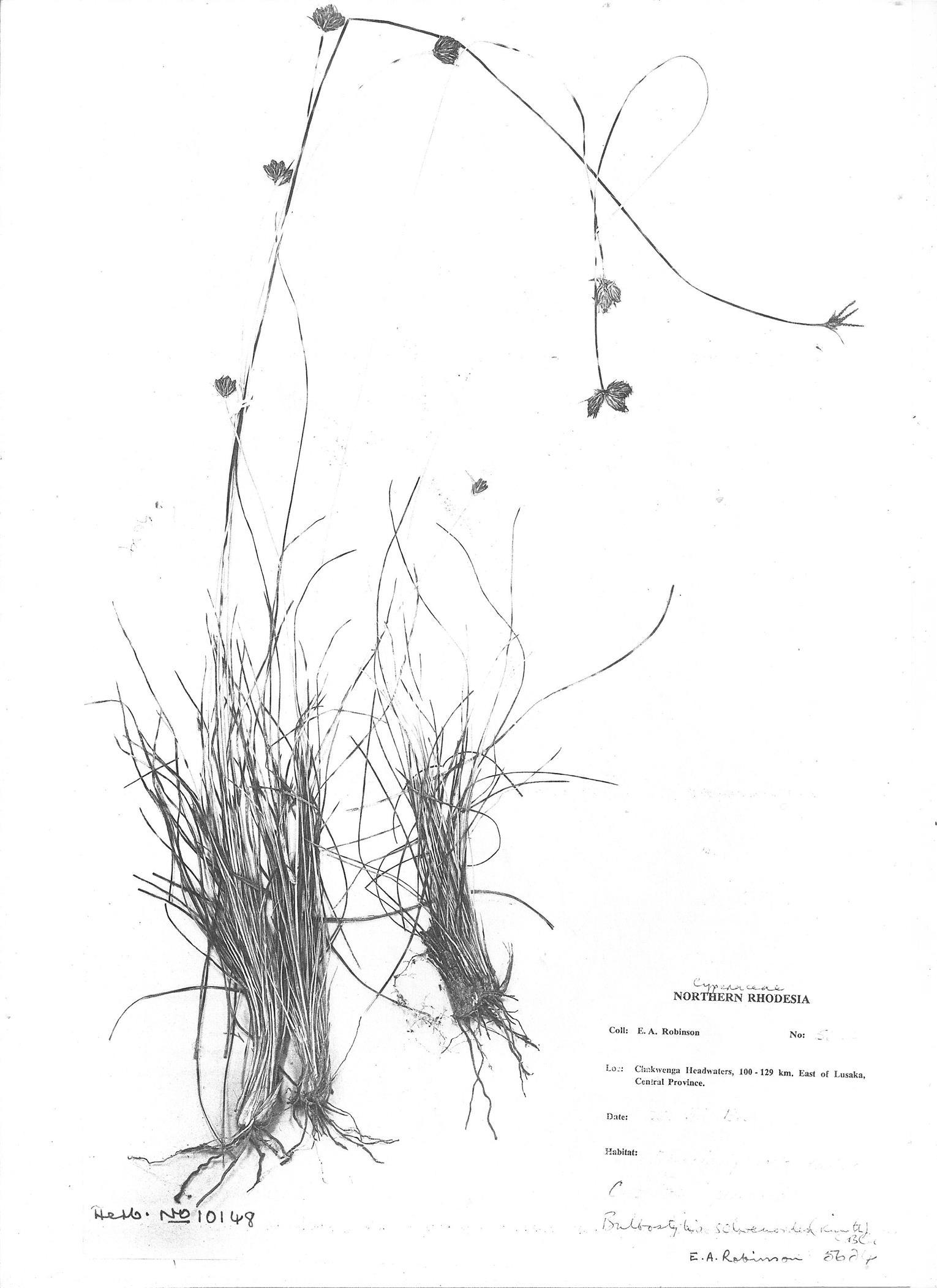 Bulbostylis boeckeleriana