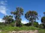 Aloidendron tongaense