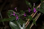 Dicliptera maculata subsp. maculata