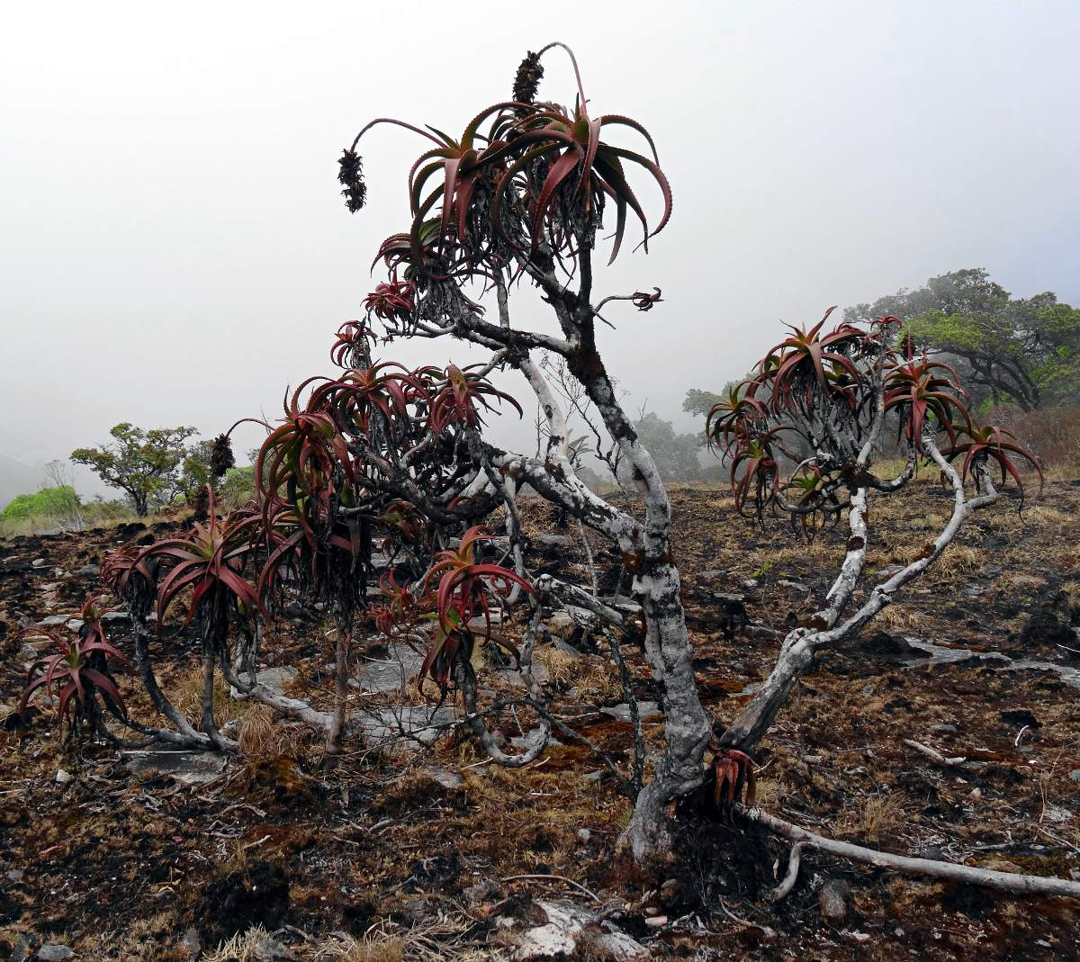 Aloe ribauensis