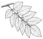 Pterocarpus tinctorius