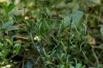 Periploca linearifolia