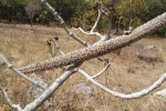 Strophanthus eminii