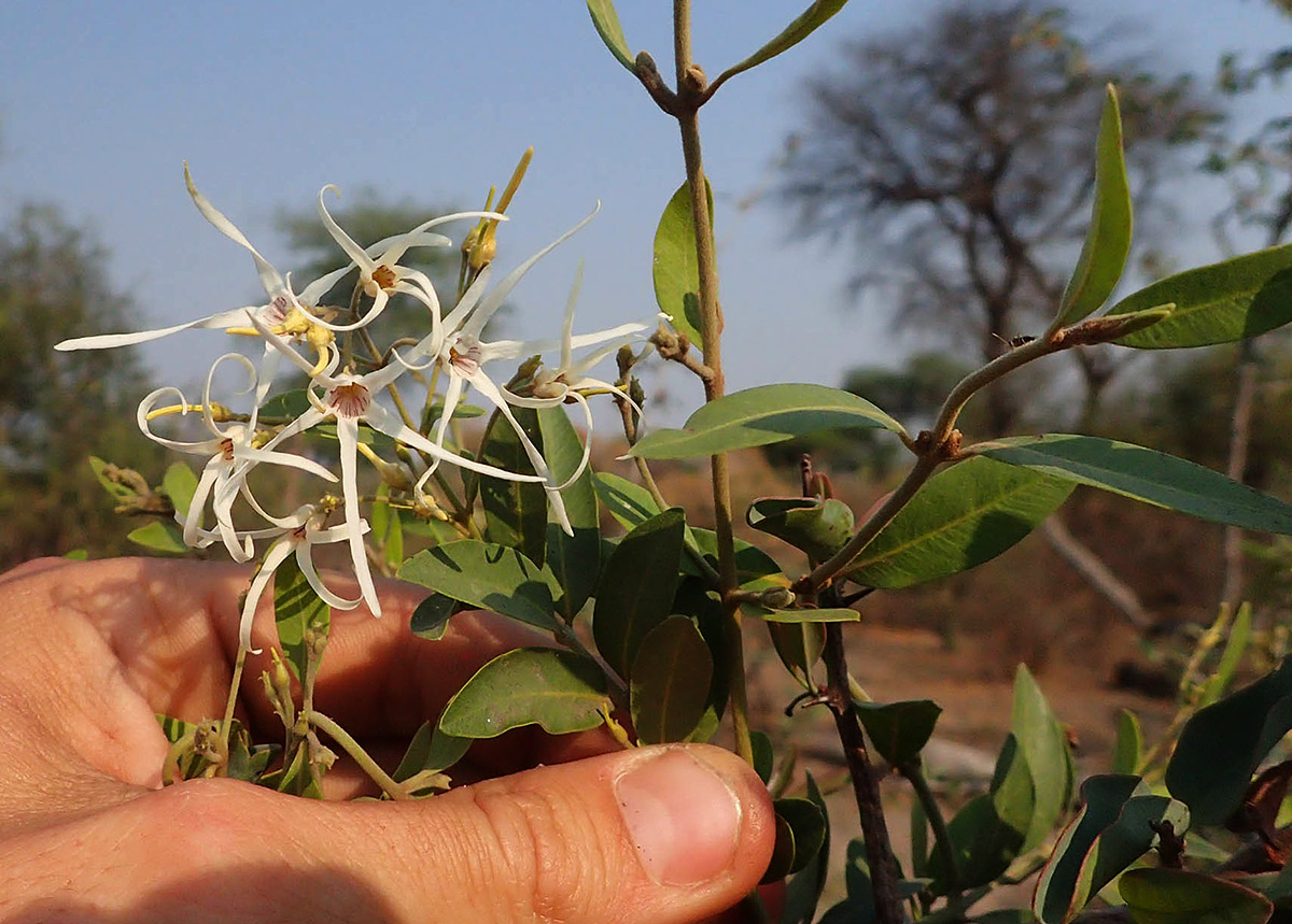 Baissea wulfhorstii