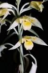 Eulophia galeoloides