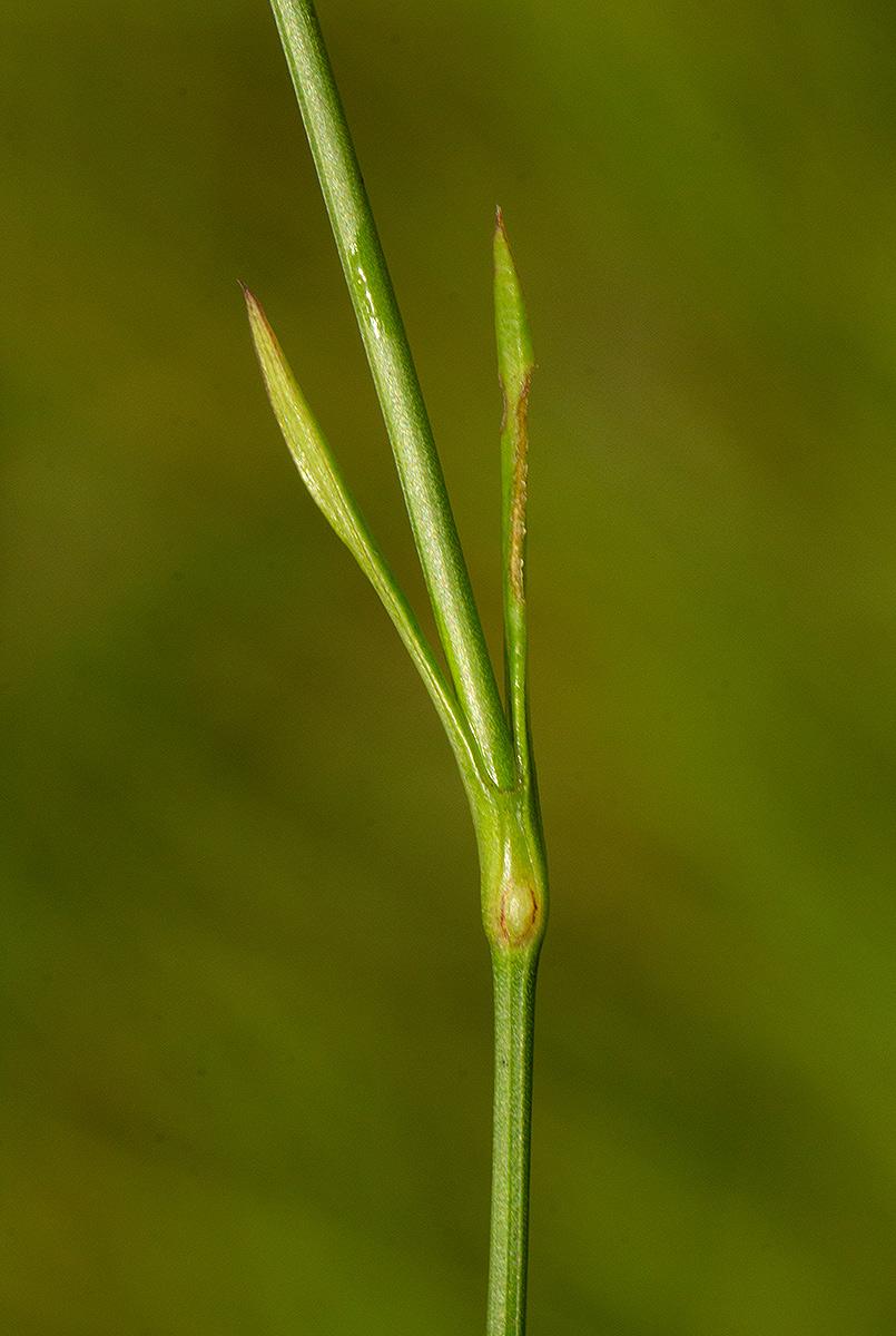 Amphiasma luzuloides