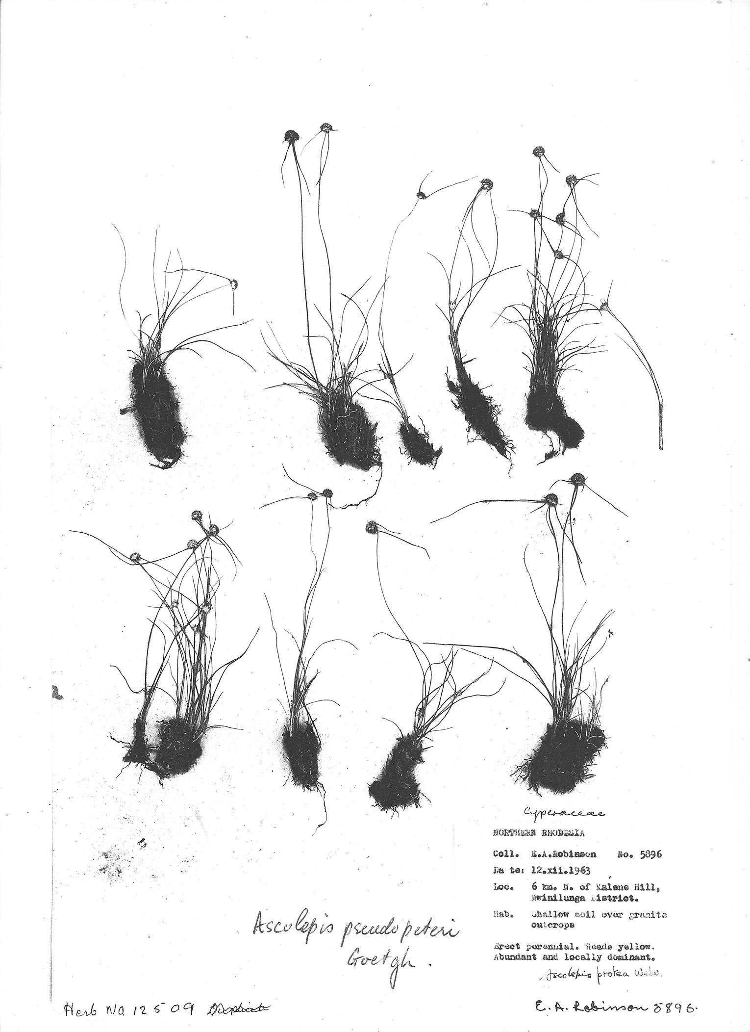 Ascolepis pseudopeteri