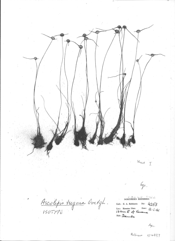 Ascolepis trigona