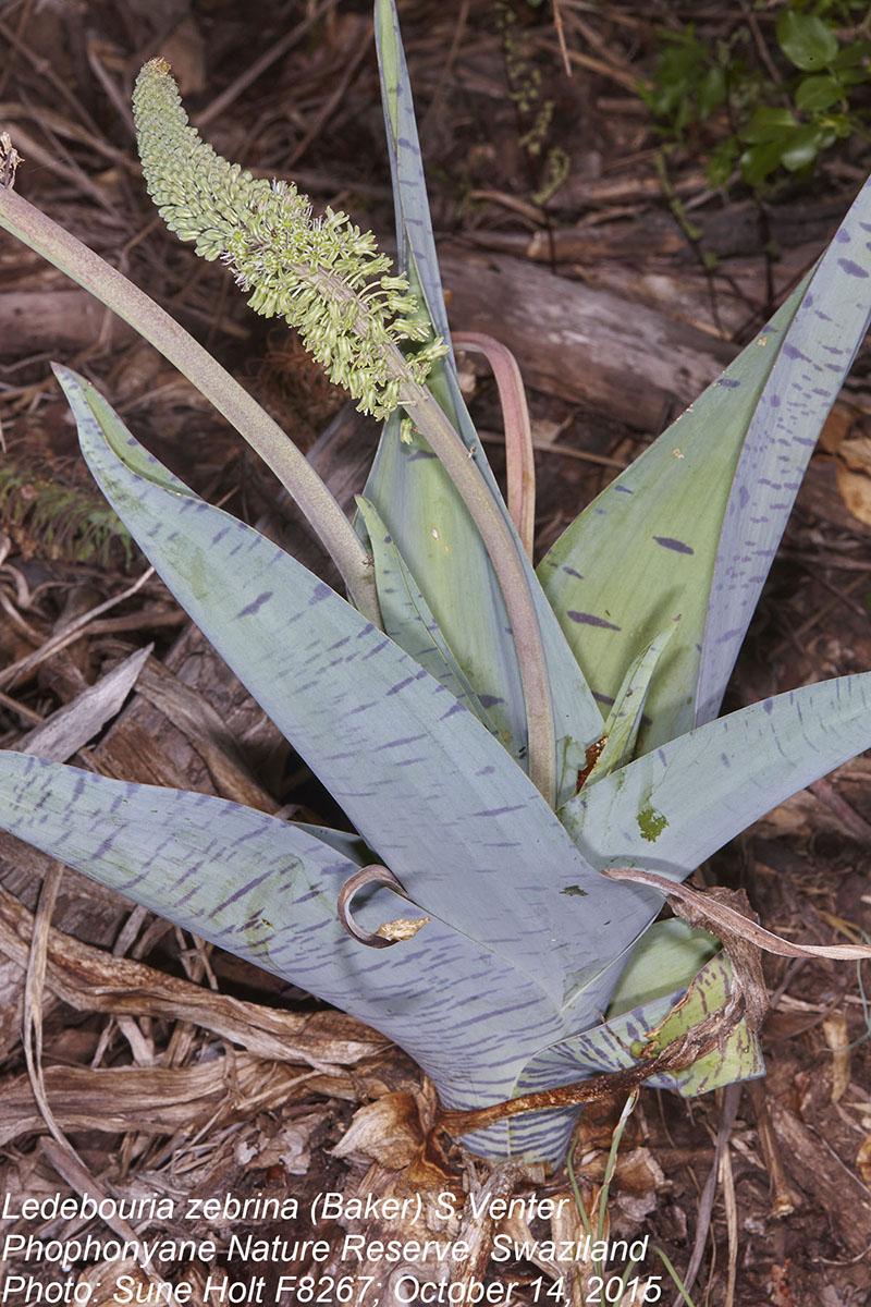 Ledebouria zebrina