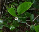 Gardenia transvenulosa